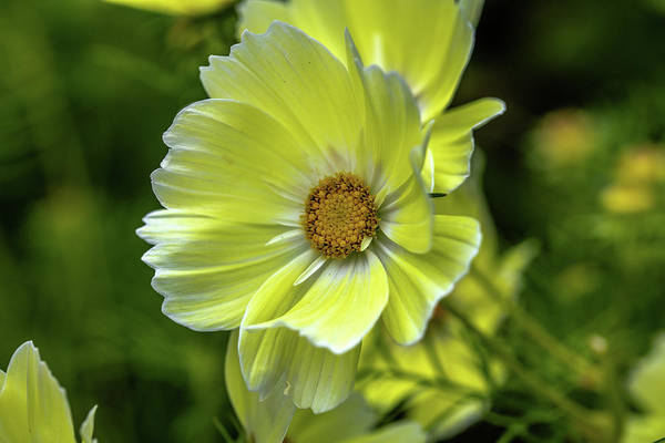 Photograph - Yellow Flower #h6 by Leif Sohlman