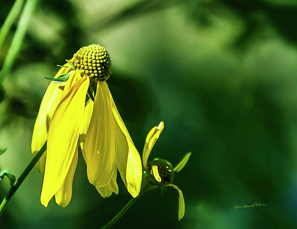 Photograph - Yellow Flower In Late Summer by Edward Peterson