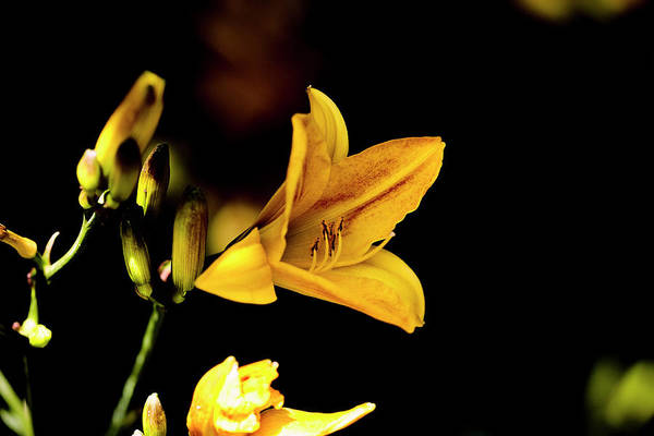 Photograph - Yellow Flower July 2016. by Leif Sohlman