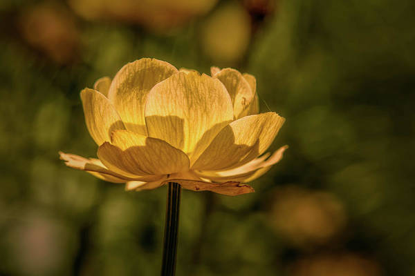 Photograph - Yellow Flower June 2016. by Leif Sohlman