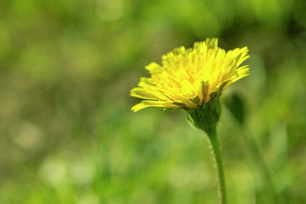 Photograph - Yellow Flower by Nikos Stavrakas