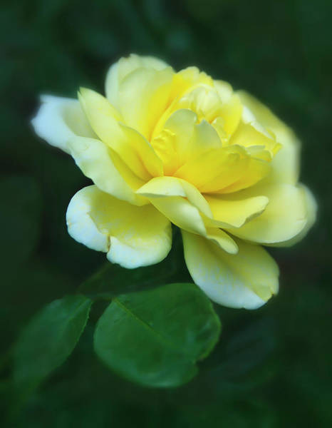 Photograph - Yellow Flower by Rick Mosher