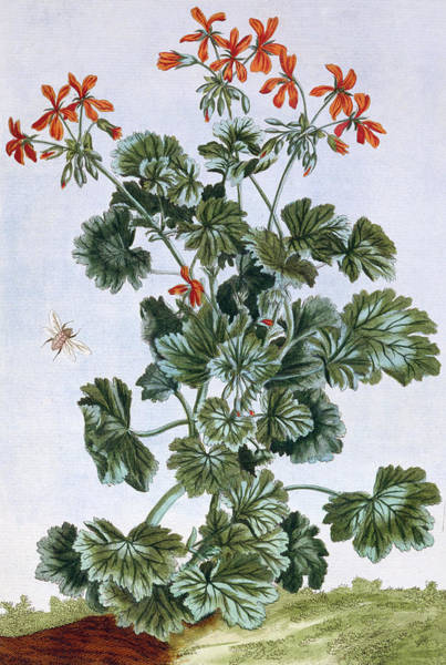 Red Geraniums Wall Art - Painting - Yellow Flowered Cranesbill by Pierre-Joseph Buchoz