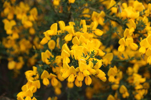 Photograph - Yellow Flowers - 3 by Christy Pooschke