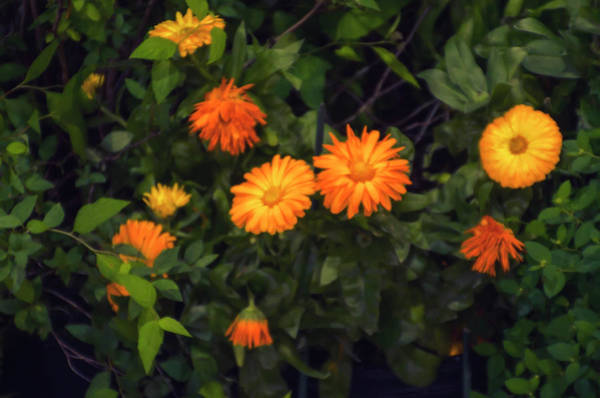 Photograph - Yellow Flowers And Green Leaves by Bill Cannon