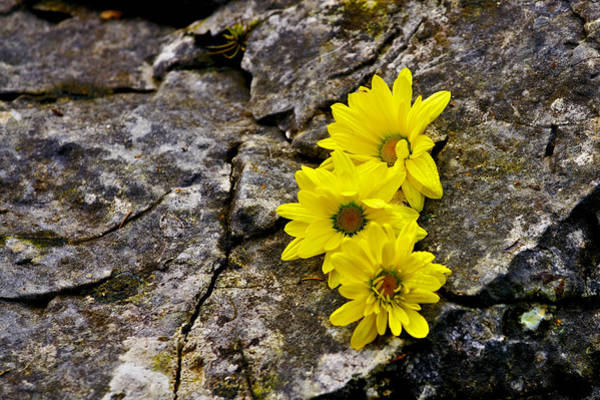 Photograph - Yellow Flowers by Ivan Slosar