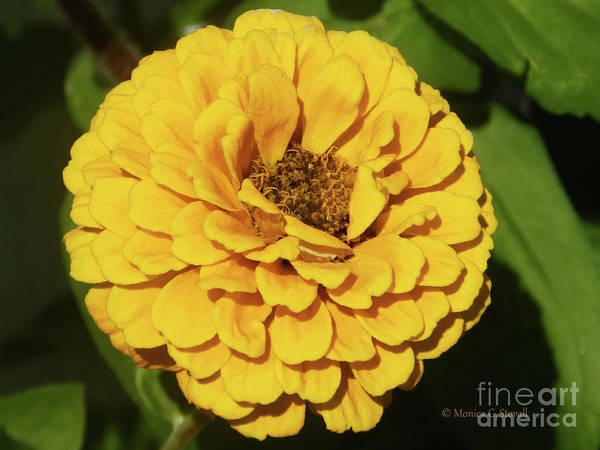 Photograph - Yellow Flowers Y86 by Monica C Stovall