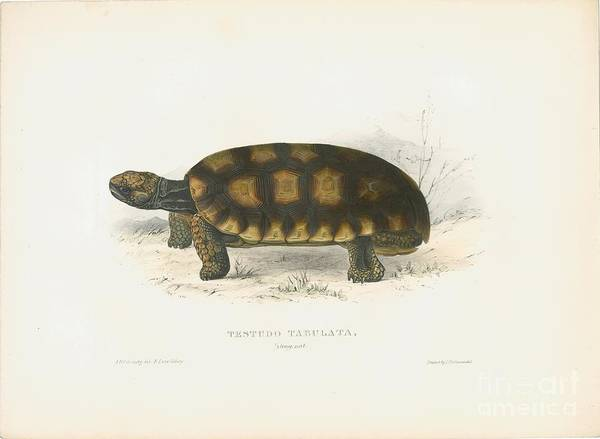 Painting - Yellow-footed Tortoise by Celestial Images