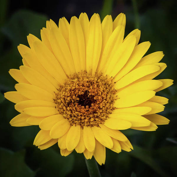 Photograph - Yellow Gerber Daisy  by Terry DeLuco