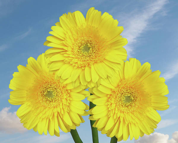 Wall Art - Photograph - Yellow Gerbera Dasies With Summer Sky by Gill Billington