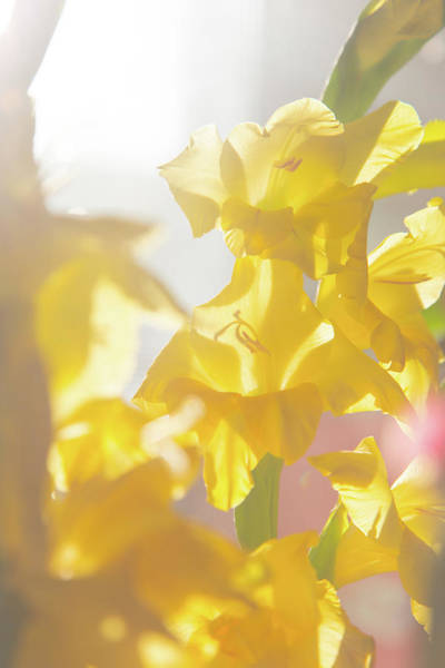 Photograph - Yellow Gladiolas In Morning Sunlight by SR Green