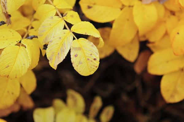 Photograph - Yellow Goodbyes by Randi Grace Nilsberg