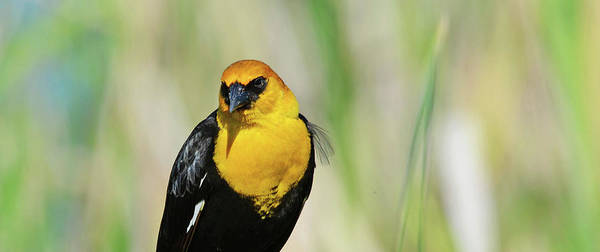 Wall Art - Photograph - Yellow Head Blackbird In Springtime by Whispering Peaks Photography