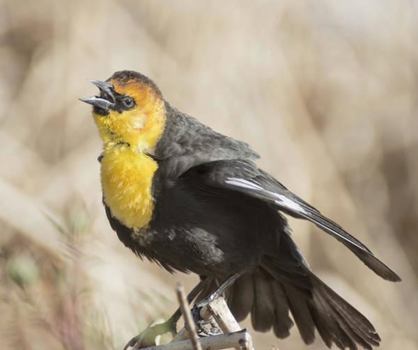 Photograph - Yellow Headed Blackbird 4 by Rick Mosher