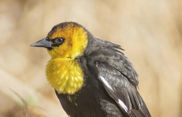Photograph - Yellow Headed Blackbird 5 by Rick Mosher