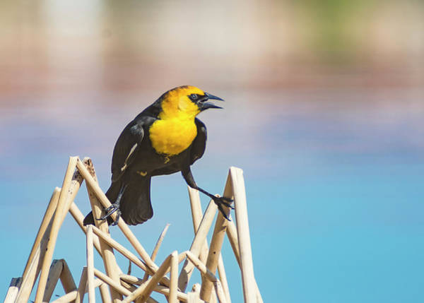 Photograph - Yellow Headed Blackbird 6 by Rick Mosher