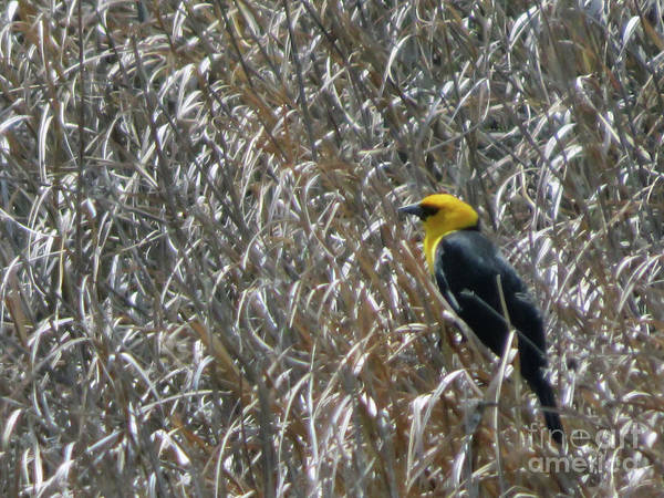 Photograph - Yellow Headed Blackbird by Cindy Murphy - NightVisions