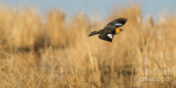 Photograph - Yellow-headed Blackbird In Flight by Brad Allen Fine Art