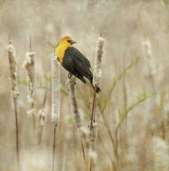 Wall Art - Photograph - Yellow-headed Blackbird In The Cat Tails by Angie Vogel