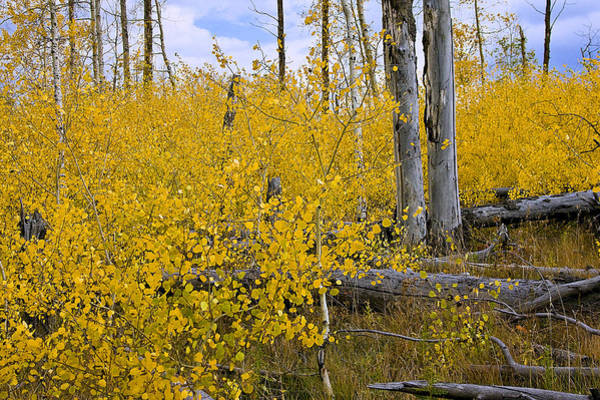 Photograph - Yellow In Grand Teton by Ken Barrett