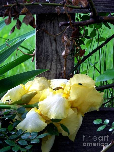 Photograph - Yellow Iris And Fence by Charles Robinson