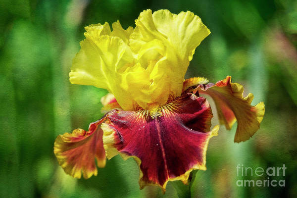 Photograph - Yellow Iris by Craig Leaper