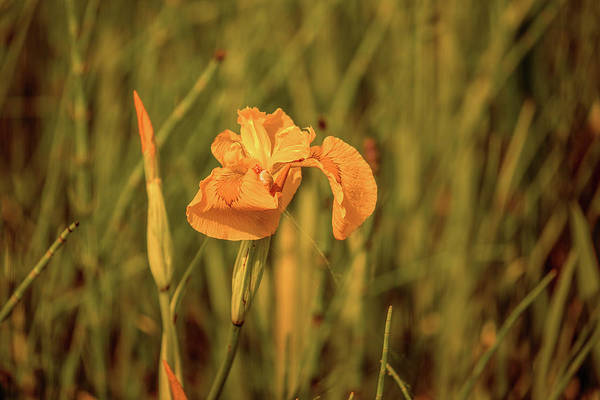 Photograph - Yellow Iris #g4 by Leif Sohlman