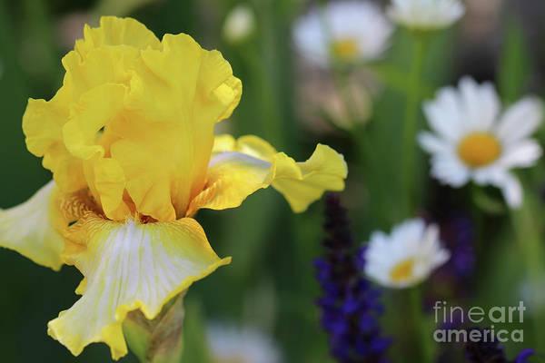 Photograph - Yellow Iris In Spring Garden by Karen Adams