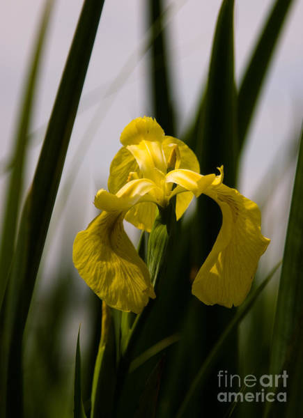 Photograph - Yellow Iris by Julia Rigler