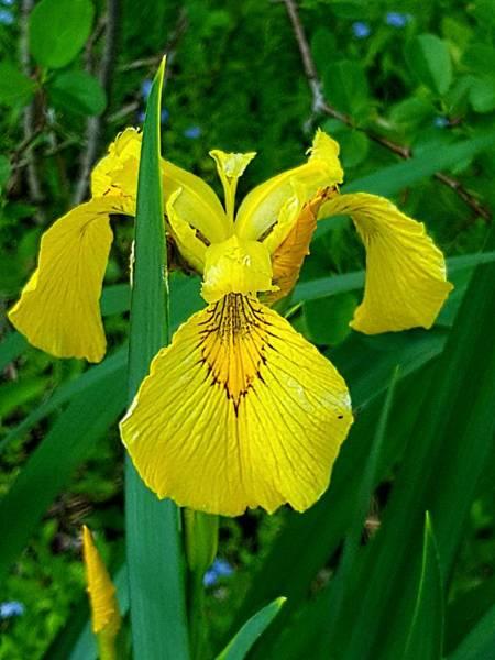 Photograph - Yellow Iris by Michael Graham