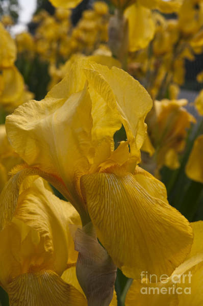 Mission Bc Photograph - Yellow Iris by Rod Wiens