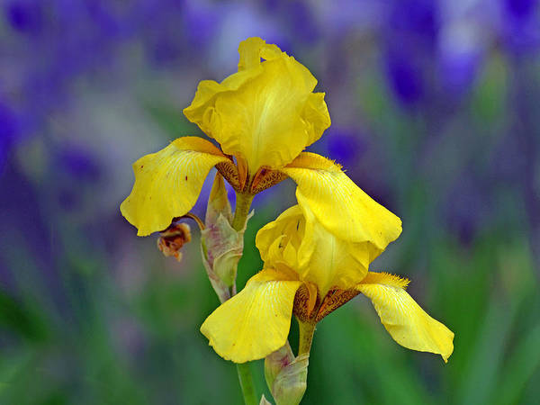 Photograph - Yellow Iris by Rodney Campbell
