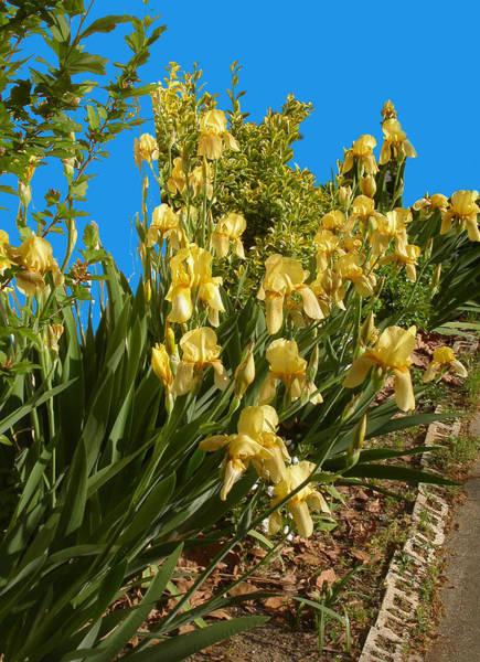Photograph - Yellow Irises by Anne Cameron Cutri