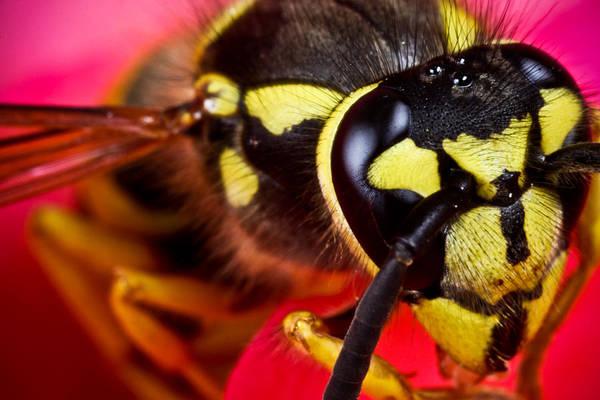 Hornet Photograph - Yellow Jacket by Ryan Kelly