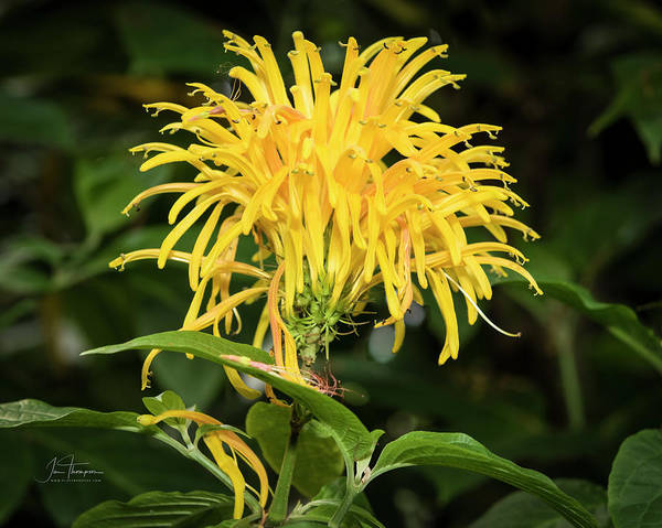 Photograph - Yellow Justicia by Jim Thompson