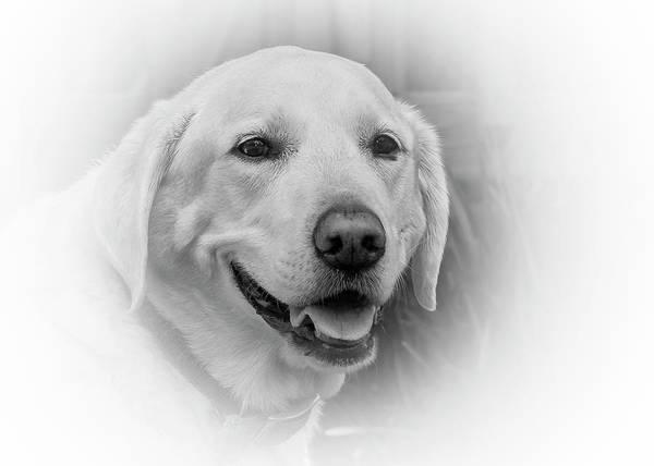Photograph - Yellow Labrador by Allin Sorenson