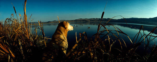 Labrador Retriever Photograph - Yellow Labrador Retriever by Panoramic Images