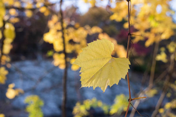 Photograph - Yellow Leaf Newton Upper Falls Fall Foliage by Toby McGuire
