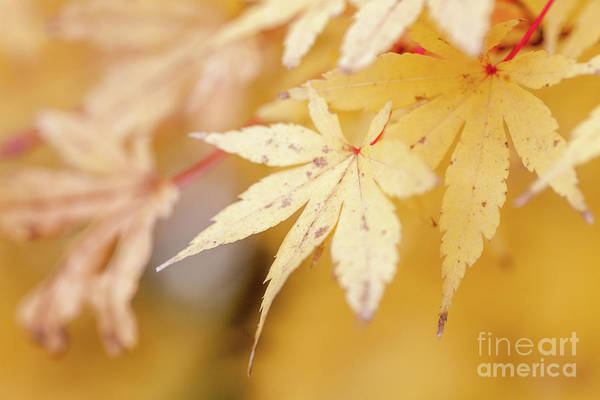 Yellow Leaf With Red Veins Art Print