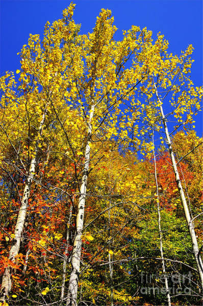 Allegheny Mountains Wall Art - Photograph - Yellow Leaves Blue Sky by Thomas R Fletcher