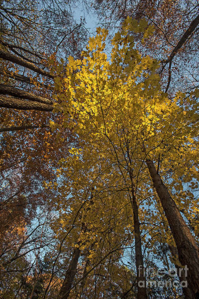 Photograph - Yellow-leaves-maple-forest by Steve Somerville