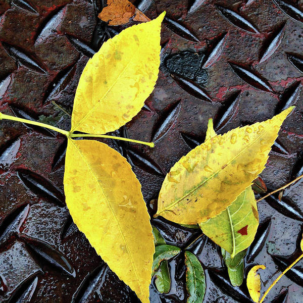 Photograph - Yellow Leaves On Rusted Metal by Cate Franklyn