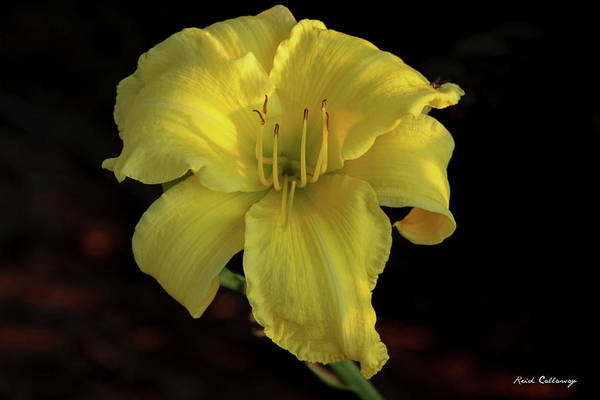 Photograph - Yellow Light Day Lily Flower Art by Reid Callaway