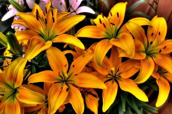 Photograph - Yellow Lilies by David Matthews