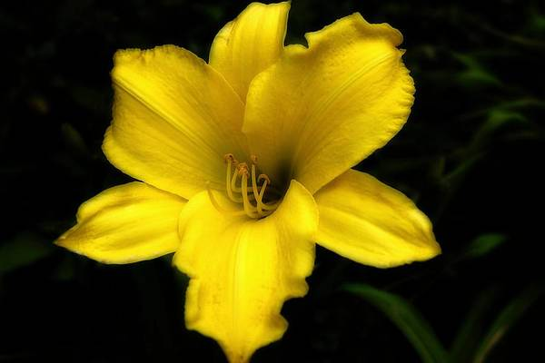 Photograph - Yellow Lily 2015  by Beth Akerman