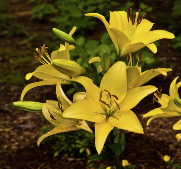 Homesickness Photograph - Yellow Lily Cluster by Douglas Barnett