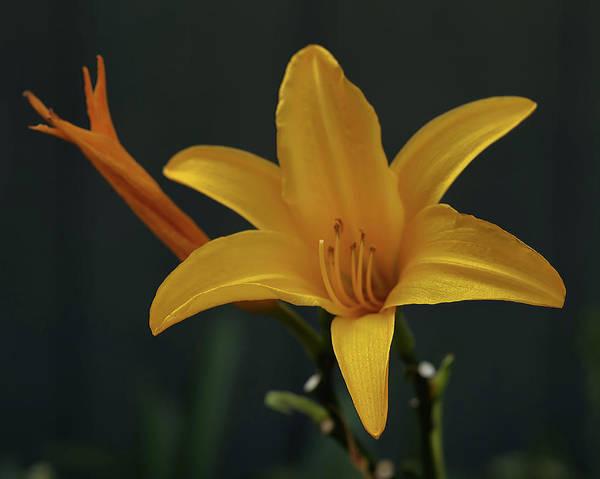 Photograph - Yellow Lily by Pamela Walton