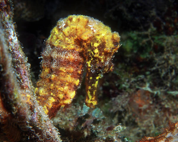 Photograph - Yellow Longsnout Seahorse, British Virgin Islands by Pauline Walsh Jacobson