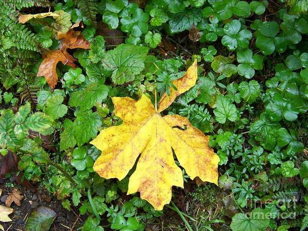 Photograph - Yellow Maple Leaf by Charles Robinson