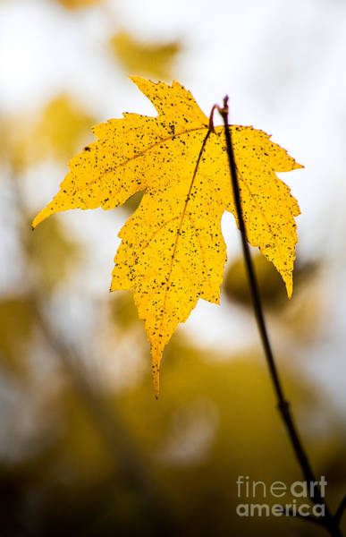 Photograph - Yellow Maple Leaf by Michael Arend